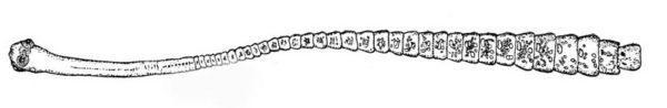 karlikovij-cepen-3
