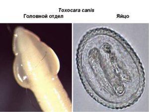 что такое аскариды это глисты или нет