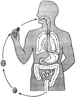 сколько живут аскариды в организме человека