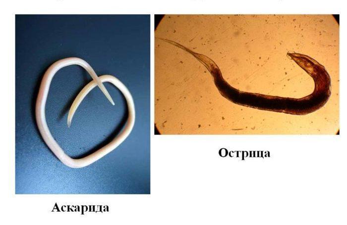 Острицы аскариды лечение препараты