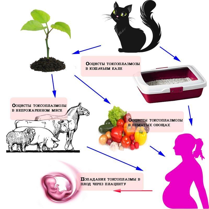 болезнь от кошек токсоплазмоз симптомы