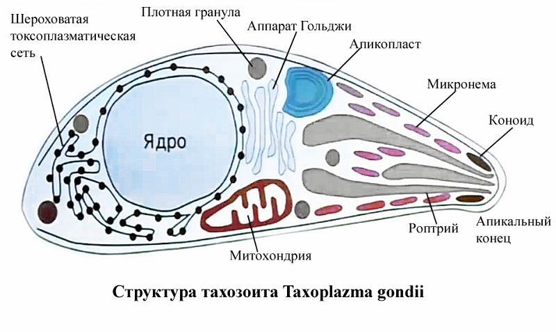 чем и как лечить токсоплазмоз у человека