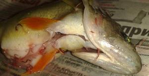 червяки в рыбе фото