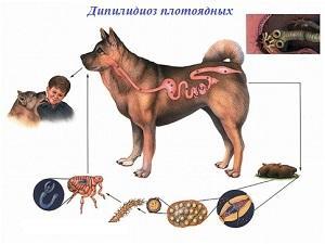дипилидиоз у человека лечение