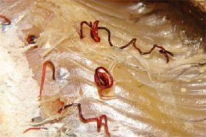 гельминты в рыбе опасные для человека фото