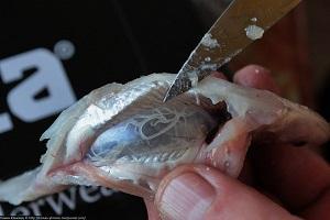 глисты в селедке соленой что делать фото