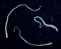 селитерный червь в человеке симптомы