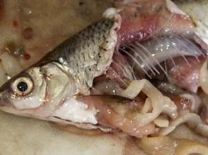 круглые черви в рыбе что делать
