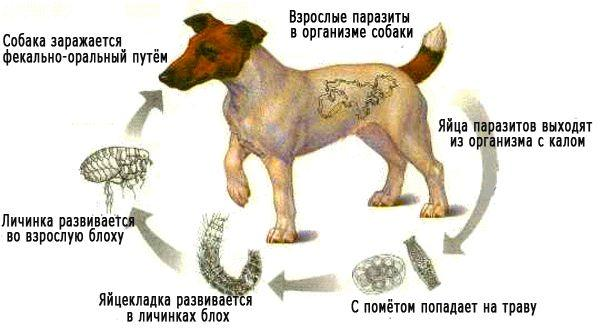 ленточные черви у собак фото