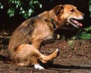 ленточные черви у собак симптомы
