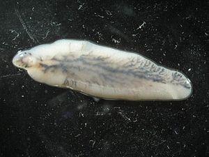 паразиты у рыб фото