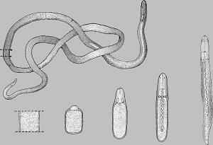 Средства от ленточных червей