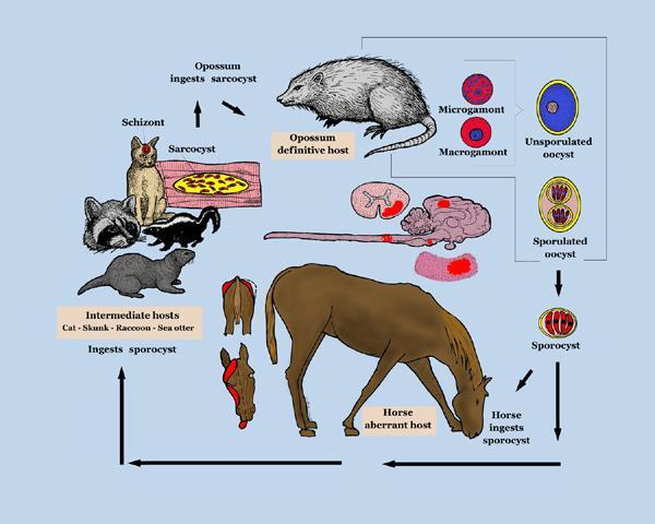 саркоцистоз животных