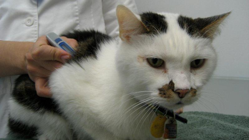 токсоплазмоз у кошек лечение