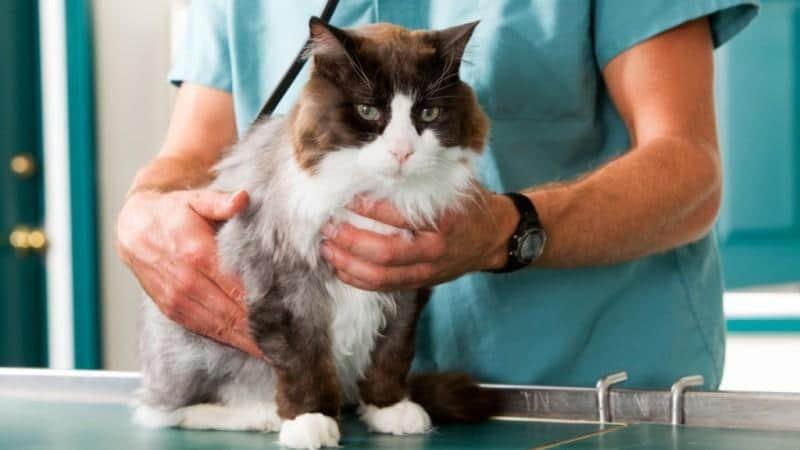 прививка от токсоплазмоза для кошек