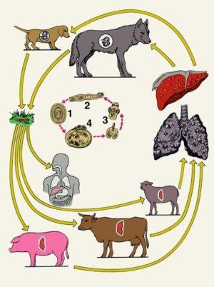 Глист солітер: симптоми у людини, ознаки в організмі, як визначити і виявити » журнал здоров'я iHealth 5