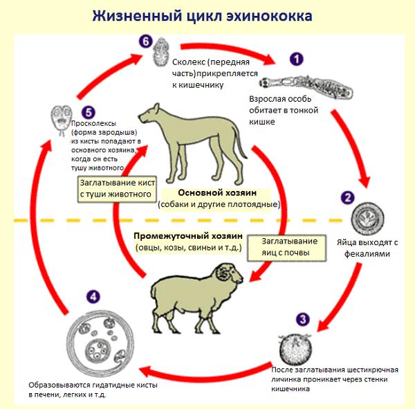 эхинококк жизненный цикл