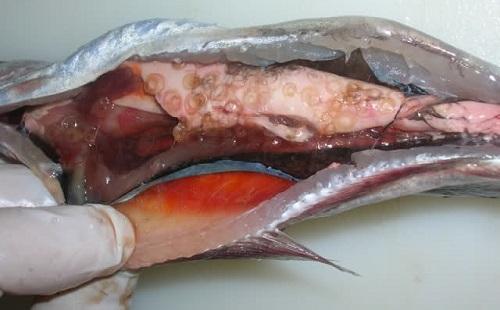 червяки в красной рыбе