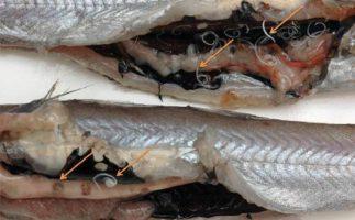 есть ли паразиты в морской рыбе