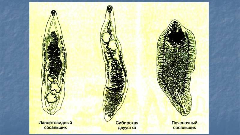 черви сосальщики