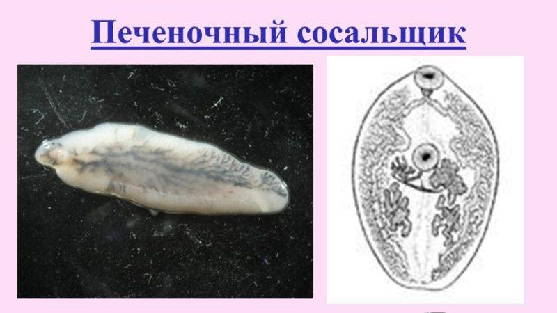 сосальщики паразиты человека