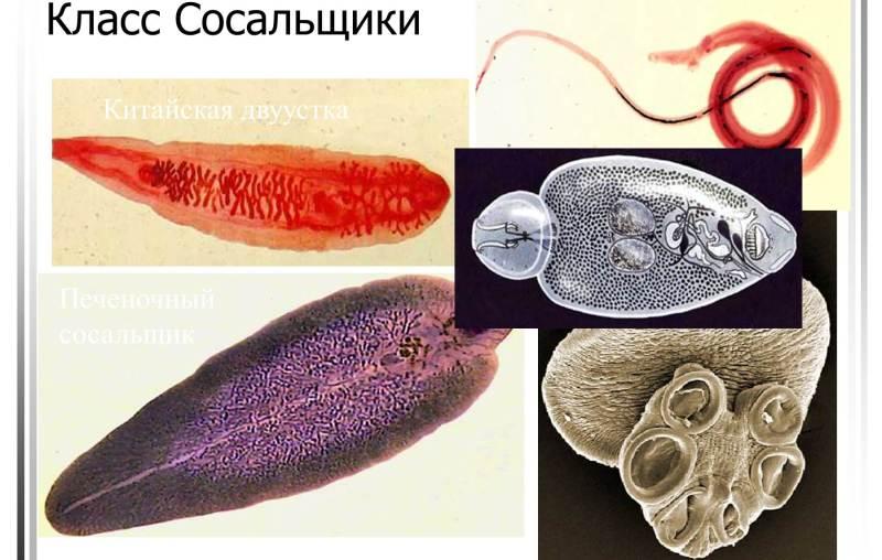 черви сосальщики фото