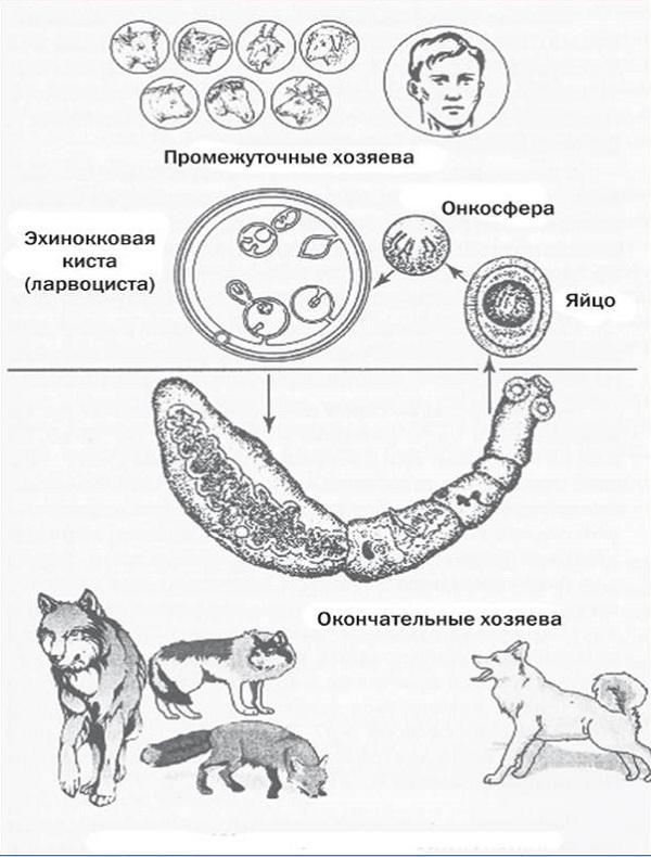эхинококкоз цикл развития