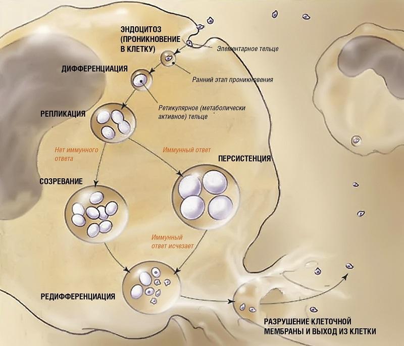 Лечение хламидиоза в домашних условиях - БИОФОН 13