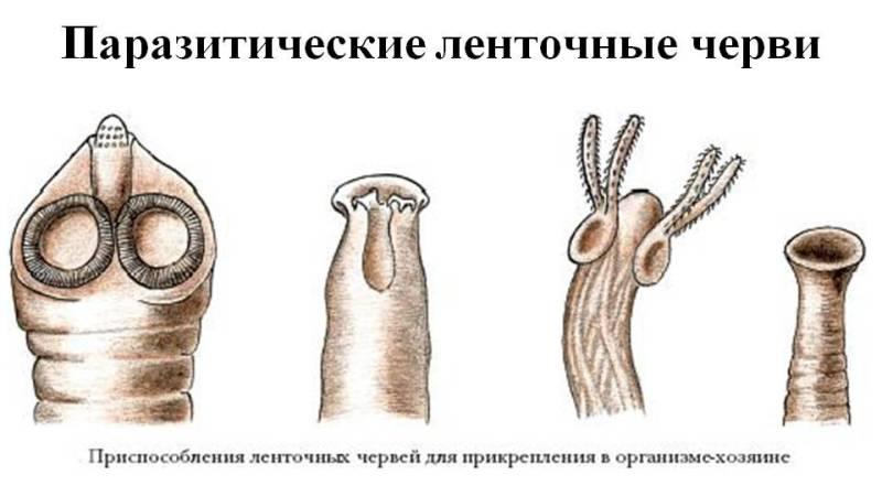 ленточные черви фото