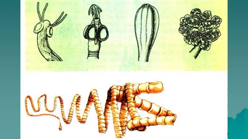 ленточный червь в кале