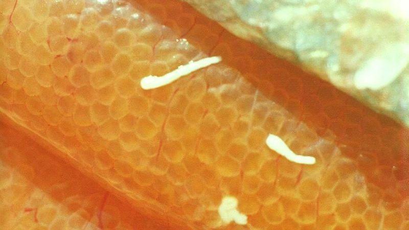 как выглядит червь