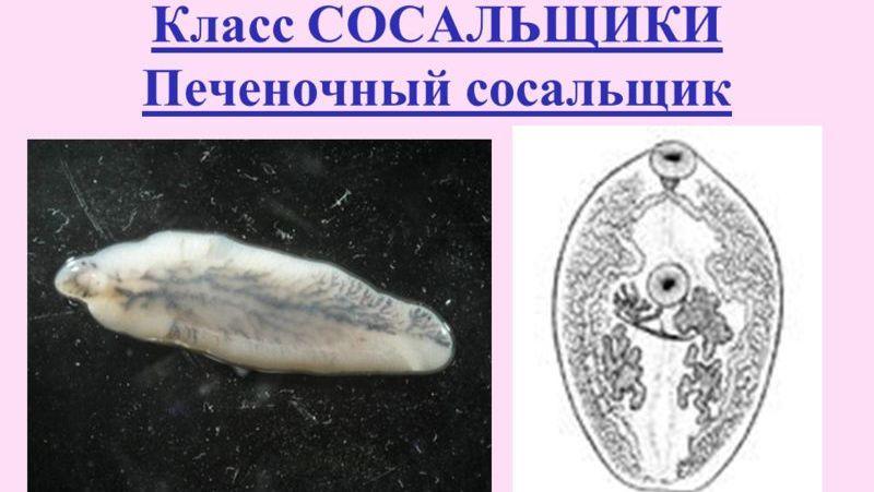 фасциола гепатика