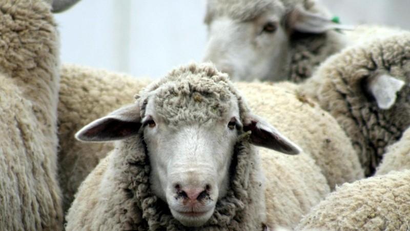 лечение фасциолеза у коров