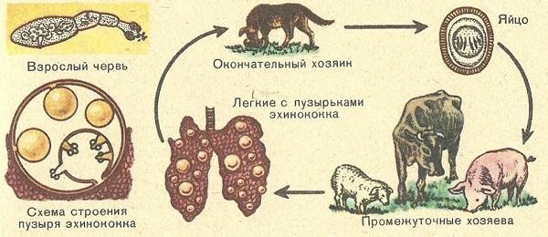 эхинококкоз жизненный цикл