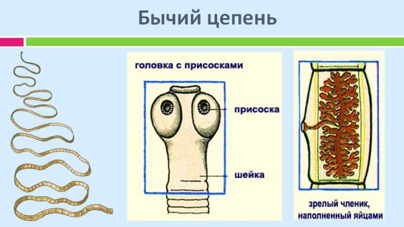 ленточные черви представители