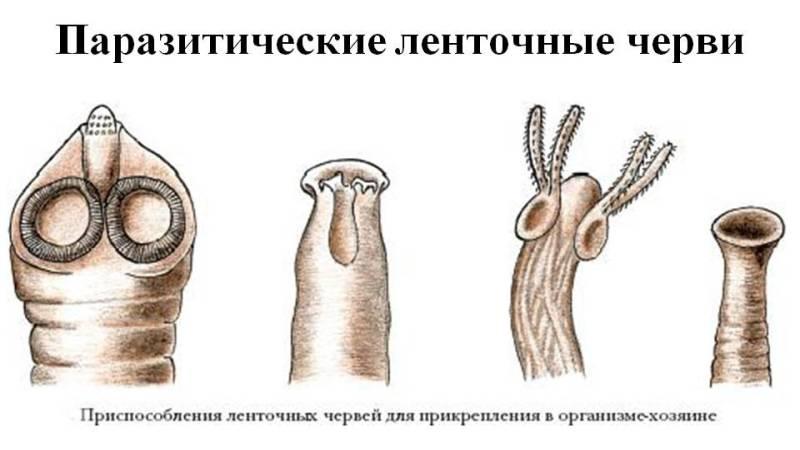 ленточный паразит у человека