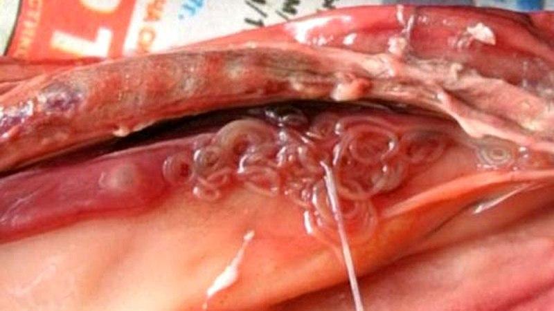 Опісторхоз: фото паразита, як виглядають опісторхи у людини » журнал здоров'я iHealth 1