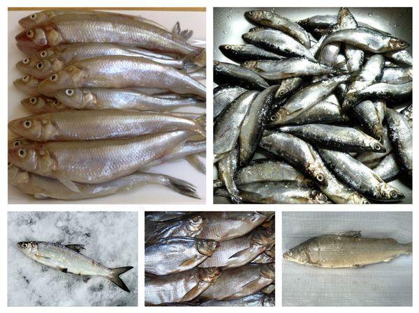 От какой рыбы можно заразиться описторхозом