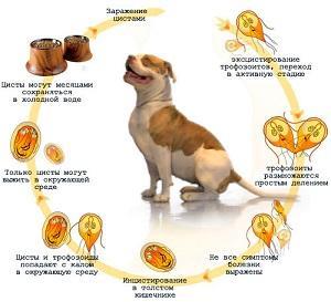 причины лямблиоза у собак