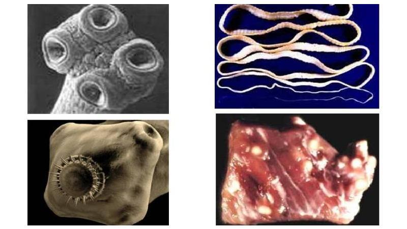 Паразитирующие ленточные черви