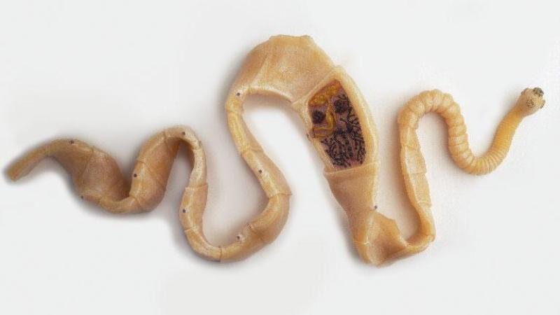 ленточные черви размножение