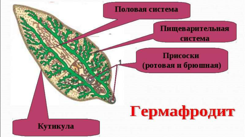 стадии развития печеночного сосальщика