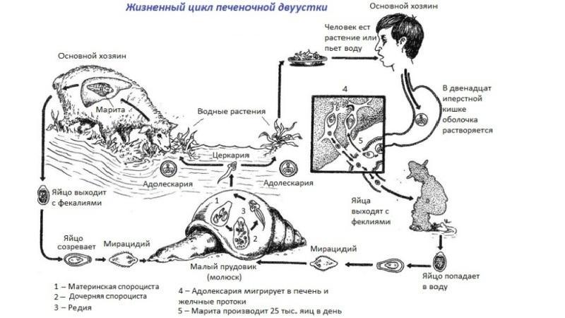 жизненный цикл печеночного сосальщика схема