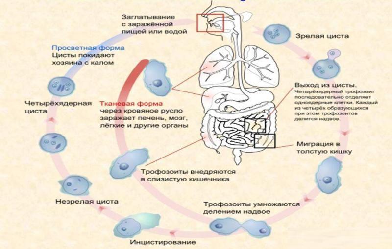 тканевая форма дизентерийной амебы