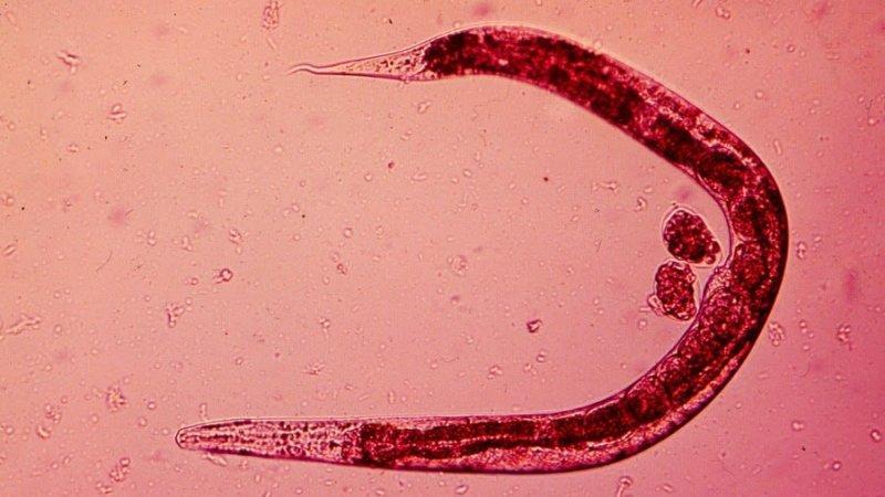 Альвеококоз: фото паразита, захворювання у людини альвеококк » журнал здоров'я iHealth