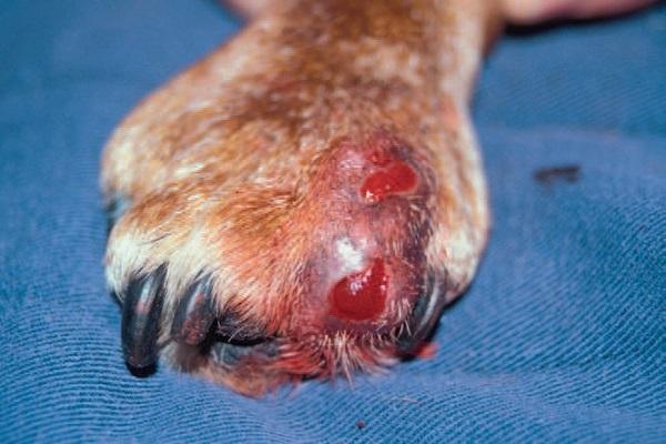 чем лечить стафилококк у собак