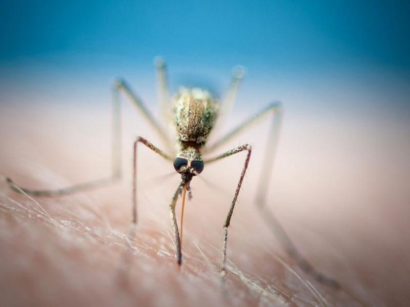 Фото паразитов филярий