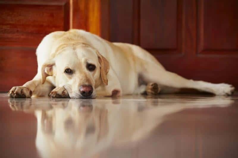 как лечить пироплазмоз у щенка