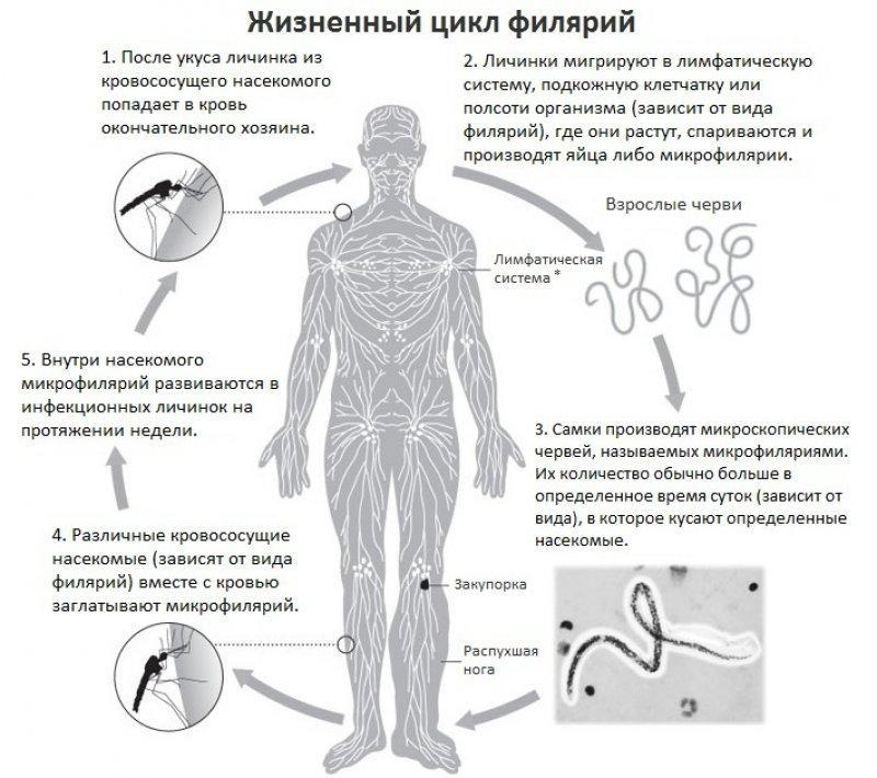 Нитчатка Банкрофта: життєвий цикл філярії » журнал здоров'я iHealth 1