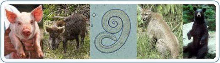 трихинеллез у животных